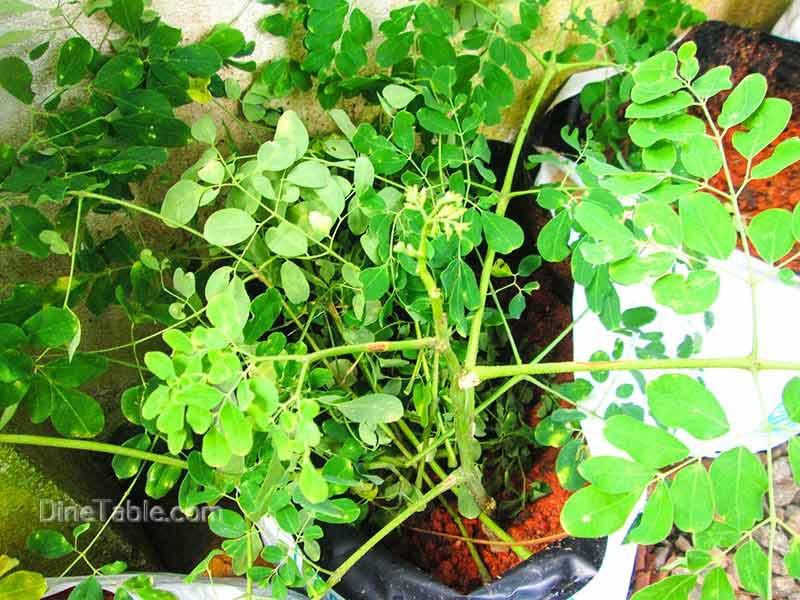 Medicinal Uses Amp Health Benefits Of Drumstick Leaves