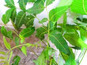 Medicinal Uses & Health Benefits of Neem or Arya veppu