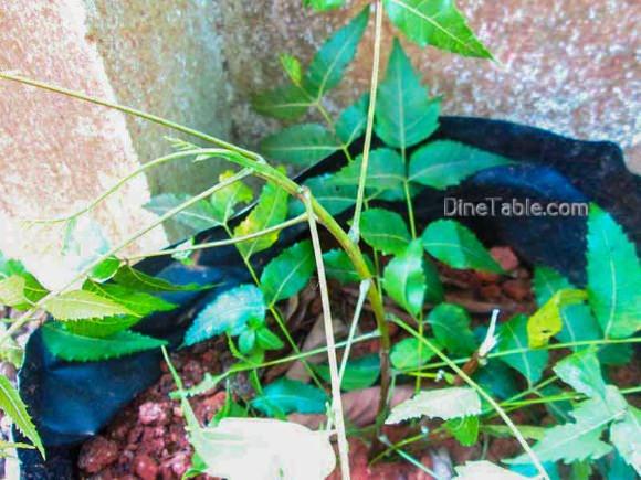 Medicinal Uses & Health Benefits of Neem or Arya veppu.